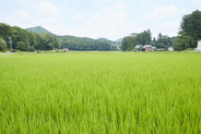 Spreading rice paddy fields in summer